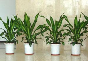 如何用�G色植物清除新�b修房的��味